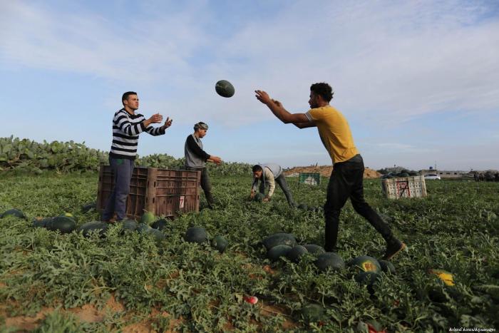 Arbūzų derliaus ėmimas Palestinoje